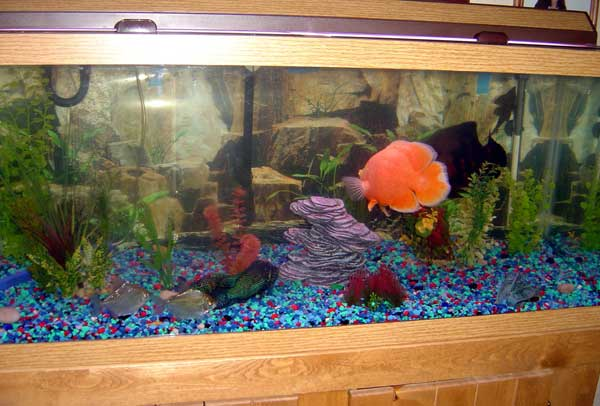 30 gallon fish tank oscar new pics of 65 gallon oscar Thirty gallon fish tank