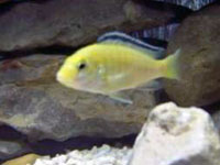 Yellow Lab Cichlid