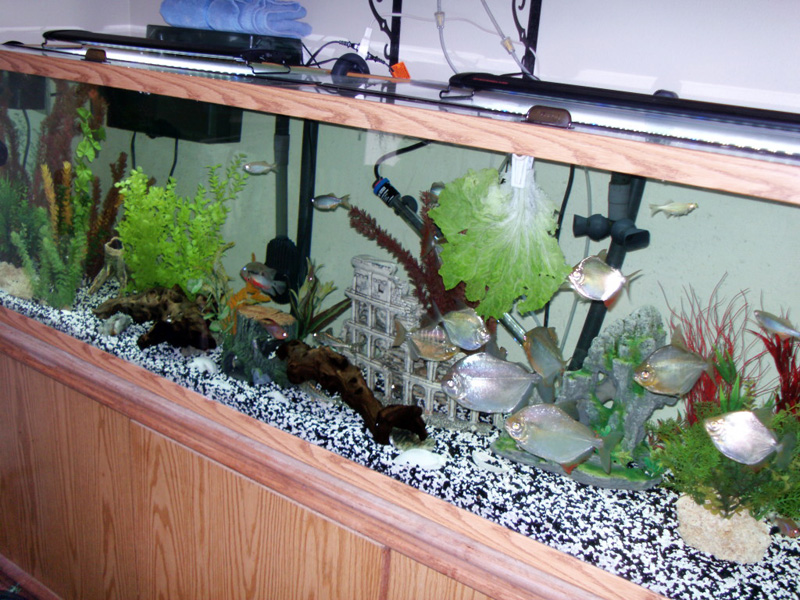 foto How to Care for Silver Dollar Fish