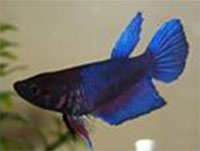 Betta Artemis
