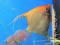 Freshwater Angelfish tending eggs