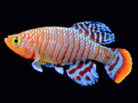 Nothobranchius rachovii male killifish