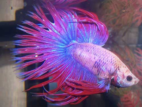 purple blue and pink frilled betta fish animals pinterest