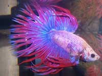 http://www.fishlore.com/aquariummagazine/mar09/sa/purple-betta.jpg