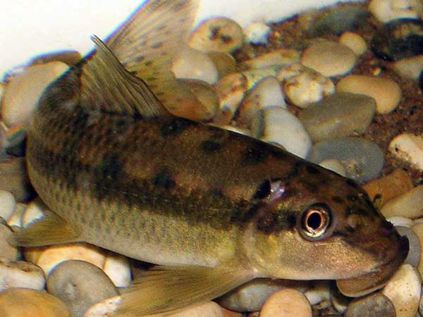 Identifying the siamese algae eater for Algae eating fish for ponds