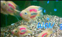 Painted Parrot Cichlid