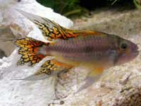 Cockatoo Cichlid