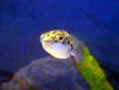 Green spotted puffer fish for Puffer fish puffing
