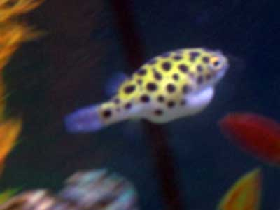 Green spotted puffer fish for How much is a puffer fish