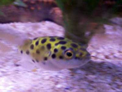 Green spotted puffer fish for Freshwater puffer fish care