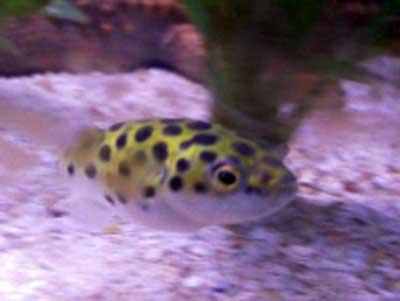 Green spotted puffer fish for Non aggressive fish