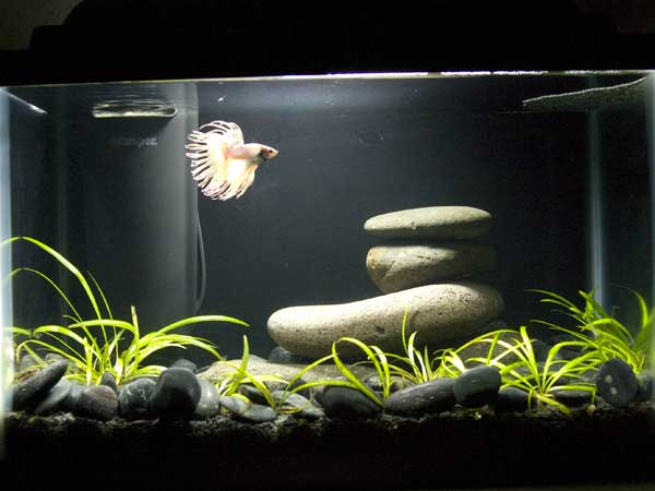 Fish are friends not decorations for Betta fish tank ideas
