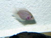 Pink Convict Cichlid
