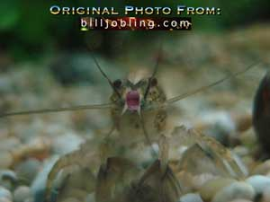 Mutated Ghost Shrimp