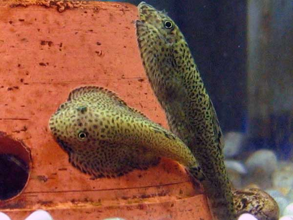 the hillstream loach is a really neat little fish that is great at ...