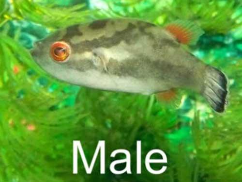 Male Red Eye Puffer Fish