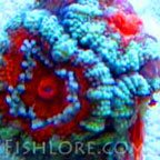 Acans coral