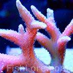 Pink Birdsnest Coral