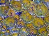 Dull Green Zoanthids
