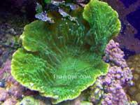 Green Monti Cap Coral
