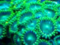 Green Zoanthids