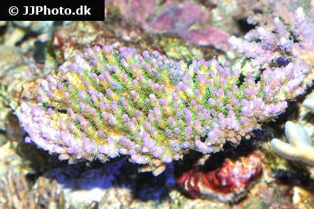 Acropora spp.