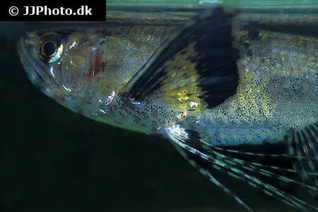 African Butterflyfish closeup
