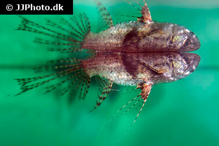 African Butterflyfish fins