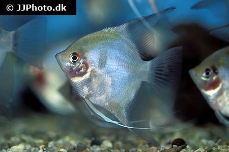 Bleeding Heart Angelfish