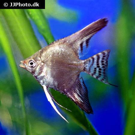 Green Flame Angelfish