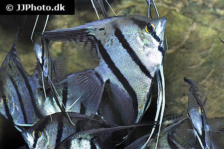 Maranon Angelfish