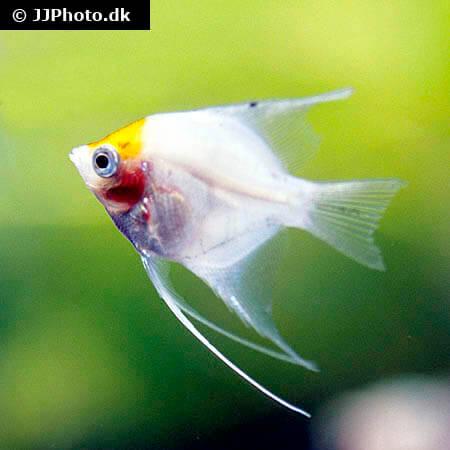Red Head Ghost Angelfish