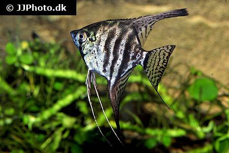 Zebra Smoke Angelfish