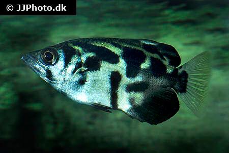Archerfish Toxotes blythii