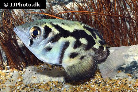 Archerfish Toxotes-blythii
