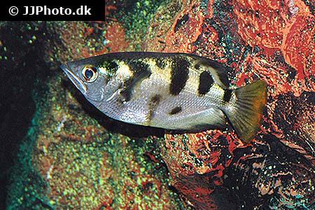 Toxotes chatareus Archerfish