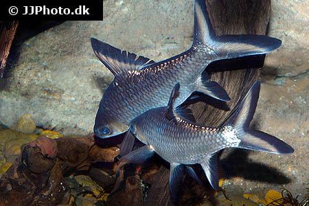 Bala Sharks