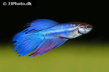 Blue and Red Betta