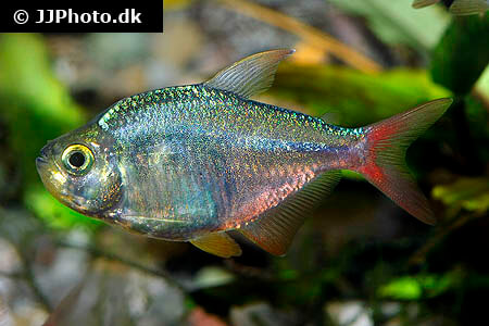 Hyphessobrycon columbianus