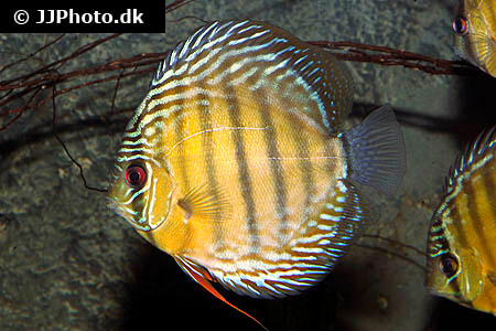 Green Tefe Discus