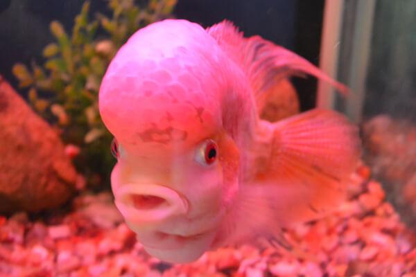 albino flowerhorn cichlid