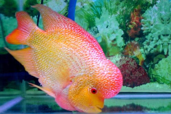 golden base flowerhorn cichlid