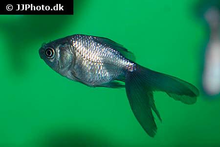 Blue Oranda Goldfish
