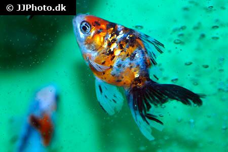 Calico Ranchu Goldfish