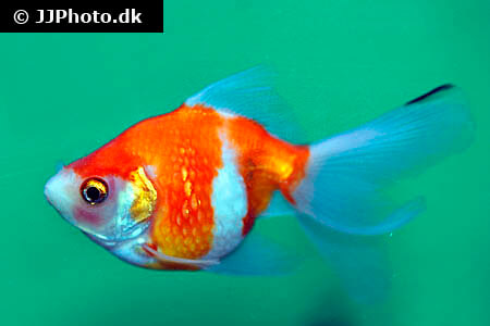 Red and White Pearlscale Goldfish