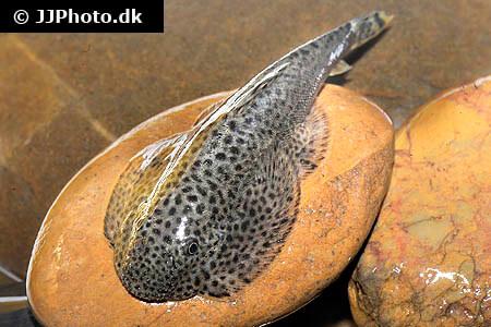 Hillstream Loach on rock