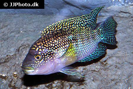 Jack Dempsey Fish Care - Size, Life Span, Tank Mates, Breeding