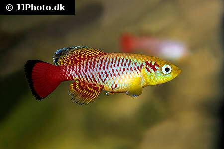 Nothobranchius guentheri Killifish