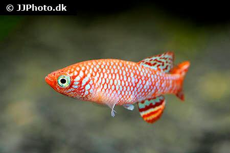Nothobranchius hassoni Killifish