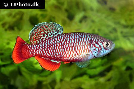 Nothobranchius kirki Killifish